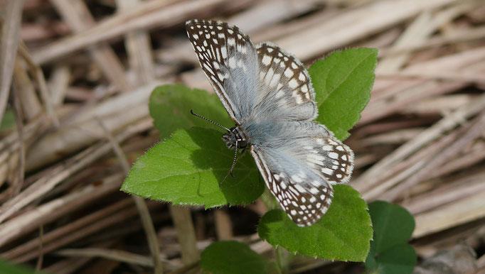 Costa Rica, pyrgus oileus