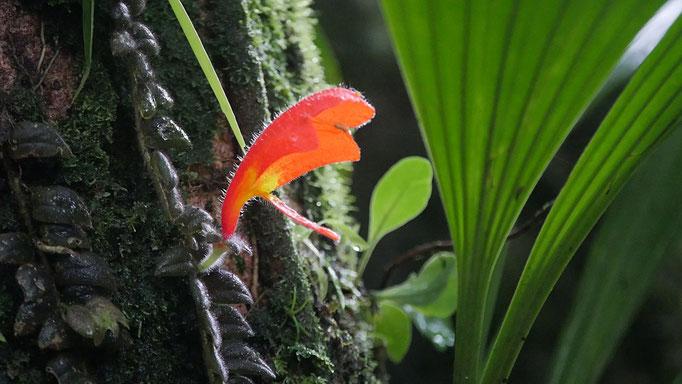Costa Rica, columnea
