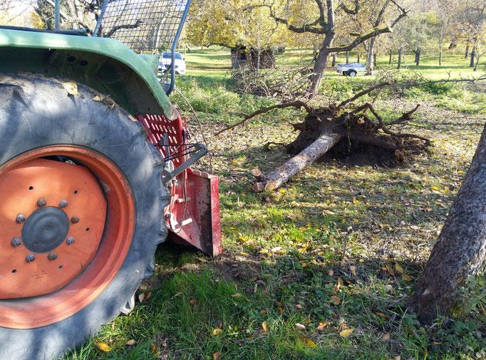 Bäume rausziehen oder fällen
