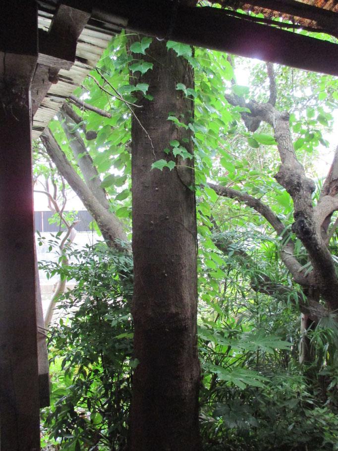 裏庭に聳える太い木は伐りました。