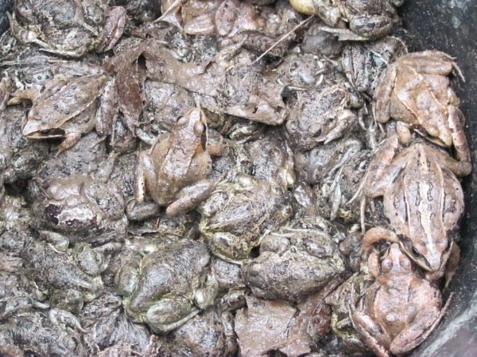 Moorfrösche + Knoblauchkröten im Eimer, Fischpfuhl Buchholz, 3/2016