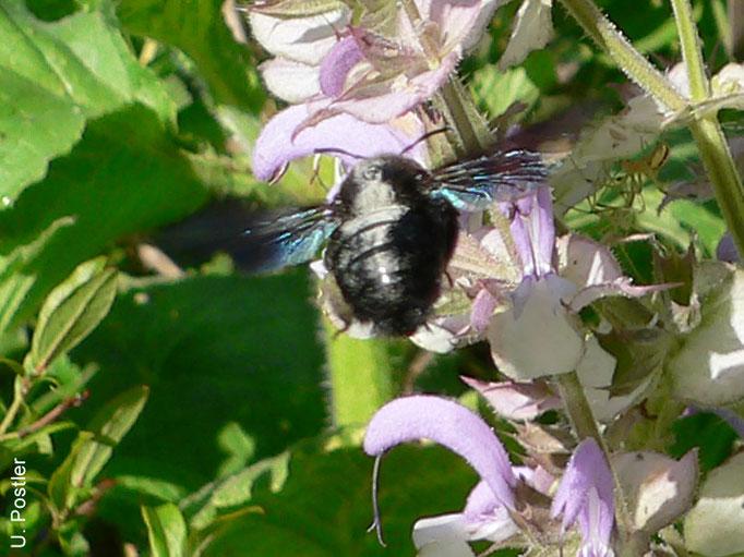 Blaue Holzbiene vor Muskatellersalbei, Juni 2016, Foto: U. Postler