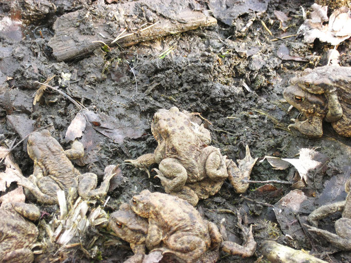 Erdkröten, Sandpfuhl Beerfelde, 4/2016
