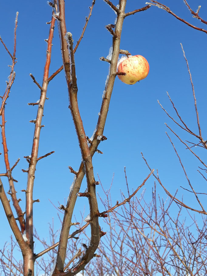 letzter Apfel 2020 gbv stollberg e.V.