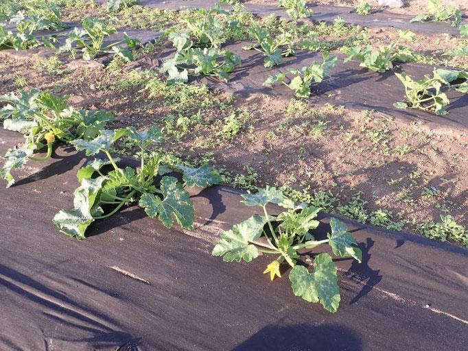 Die Zucchinis haben schon die ersten Früchte angesetzt