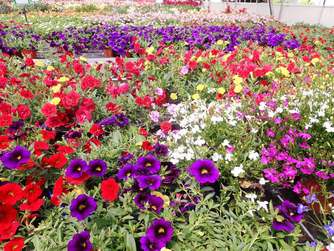 viele bunte Beet- und Balkonpflanzen