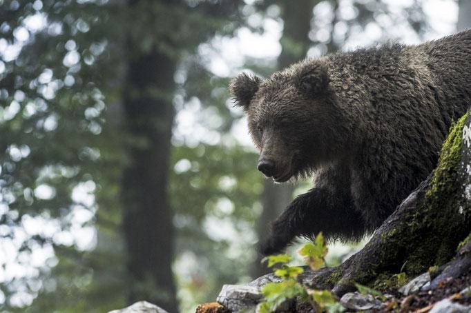 Ours brun (Ursus arctos) - Slovénie - 09/2017