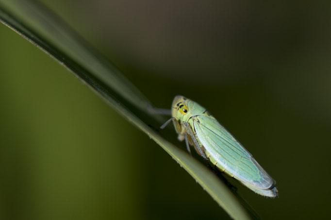 La Cicadelle verte - Empoasca vitis