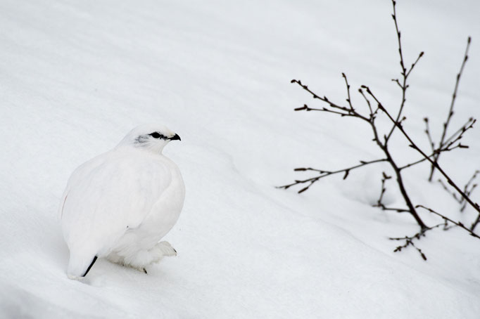 Lagopède alpin (Lagopus muta) - Islande 03/2017