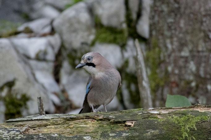 Geai des chênes (Garrulus glandarius) - Slovénie 09/2017