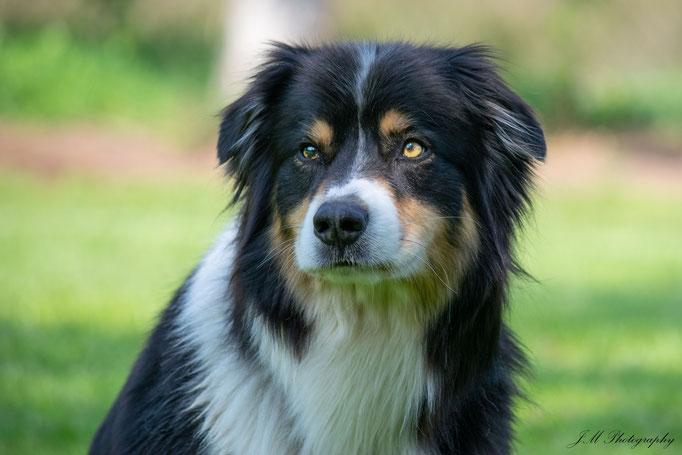 Balou - Australian Shepherd