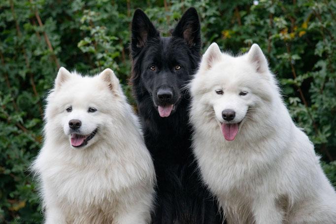 Witani, Azura (Samojede) + Nikita - Deutscher Schäferhund