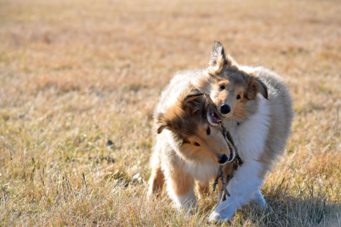 Cleo + Kaya - Collie
