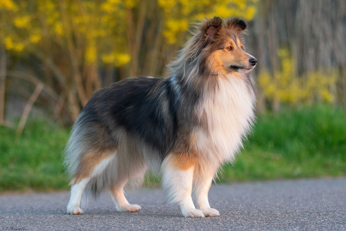 Angel - Sheltie