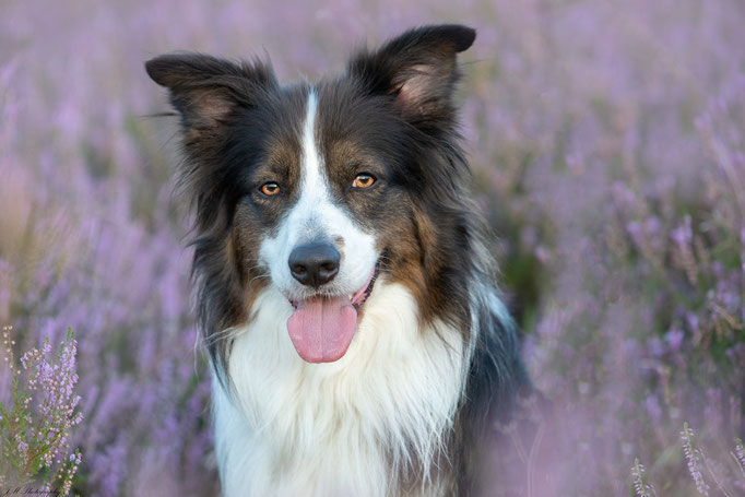 Fred - Border Collie