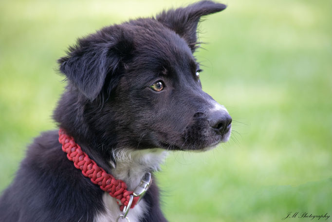 Twix - Border Collie