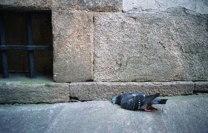 Pájaro muerto en calle. Santiago de Compostela