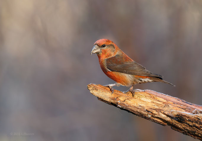Kruisbek mannetje - Red crossbill male.