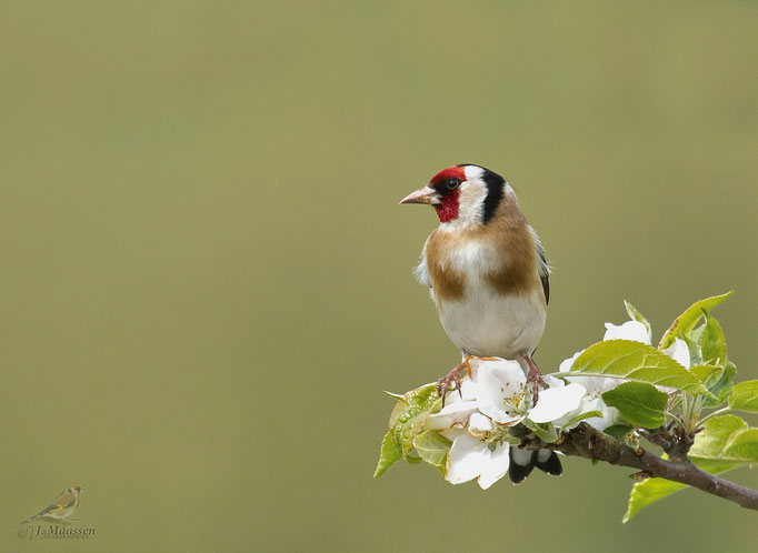 Mijn favoriete zangvogel, de putter (Distelvink) - My favorite songbird, the goldfinch.