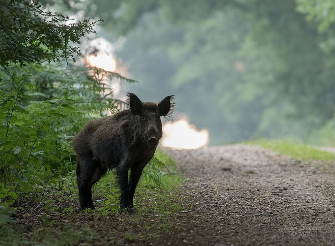 Wild zwijn ♀ langs de bosrand - Wild boar ♀ on the edge of the forrest.