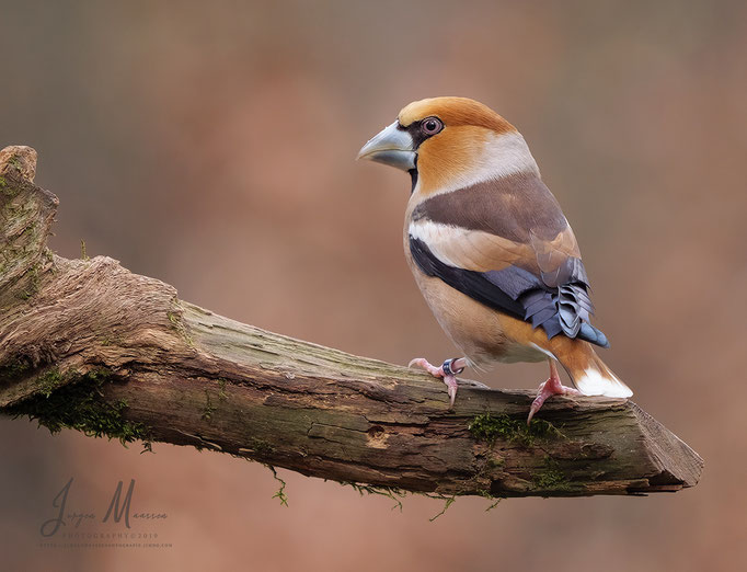 Appelvink man - Hawfinch male.