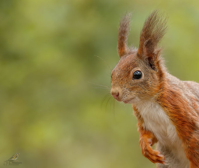 Eekhoorn portret - Red squirrel portrait.