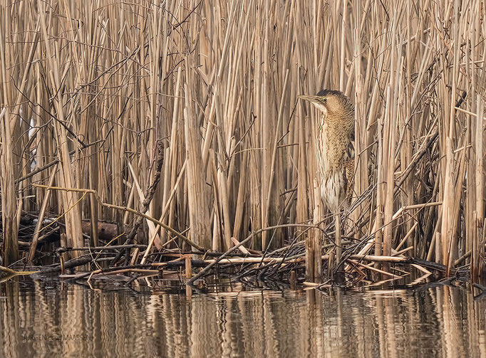 Roerdomp in zijn natuurlijke habitat - Eurasian Bittern in his natural environment.