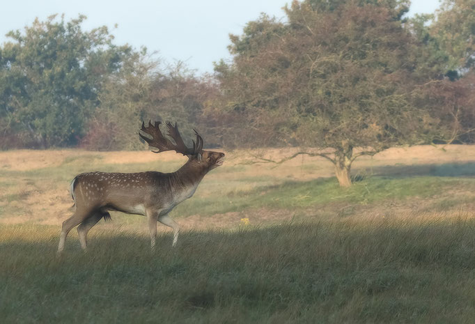 Damhert in het ochtendlicht - Fallow Deer in the morning light.