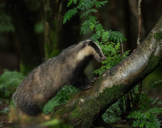 Das - European badger.