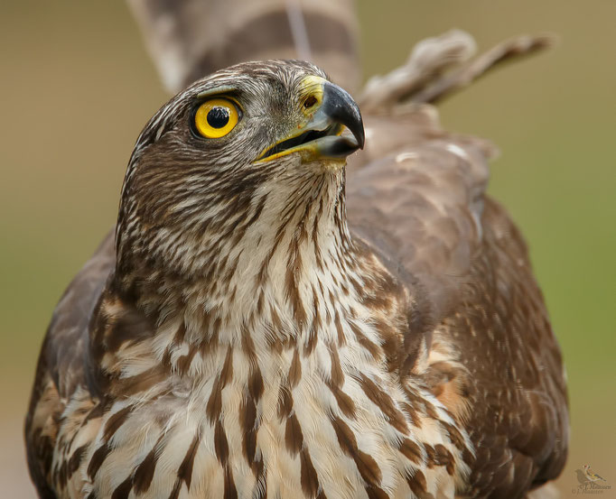Havik ♀ - Northern goshawk ♀.