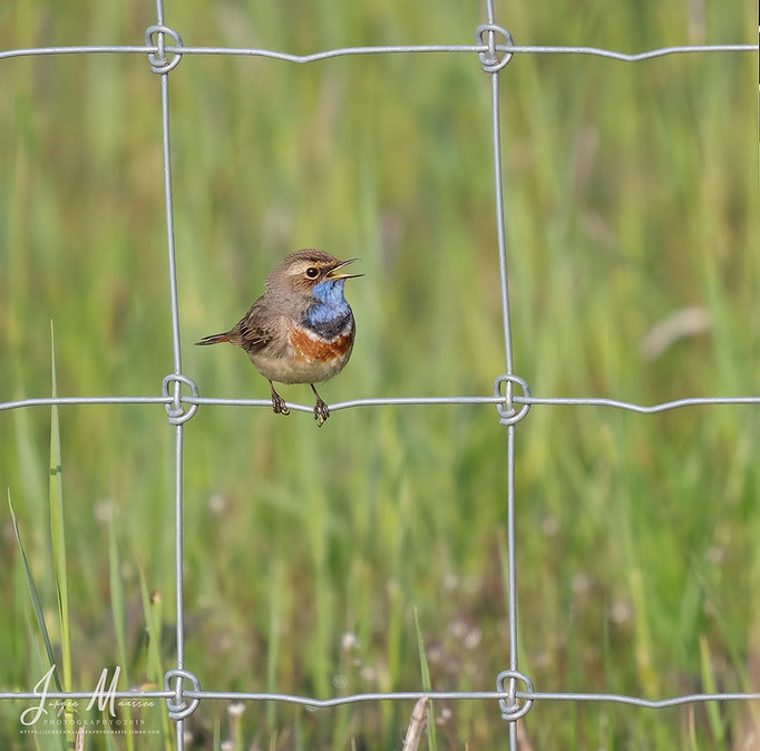 Blauwborst - Bluethroat.