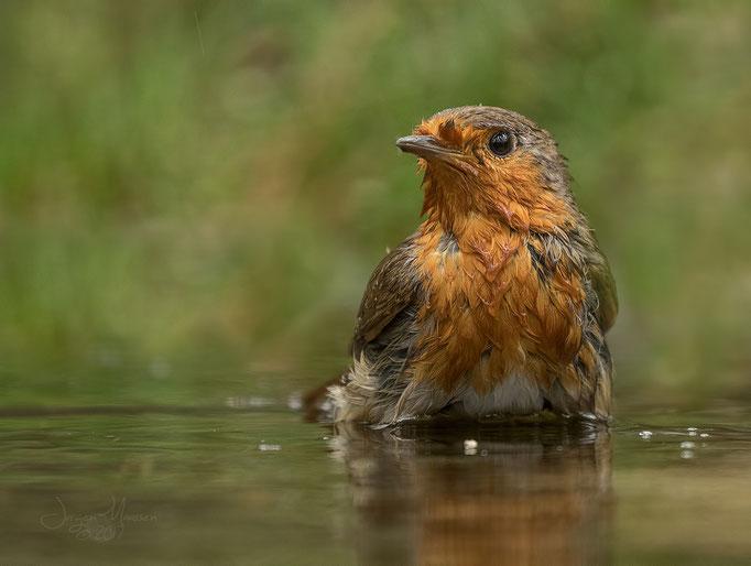 Roodborstje in bad - Robin in bath.