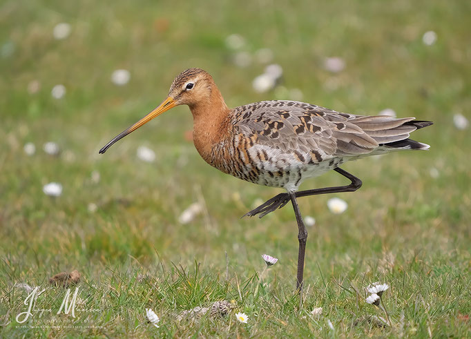 Grutto - Black-tailed Godwit.