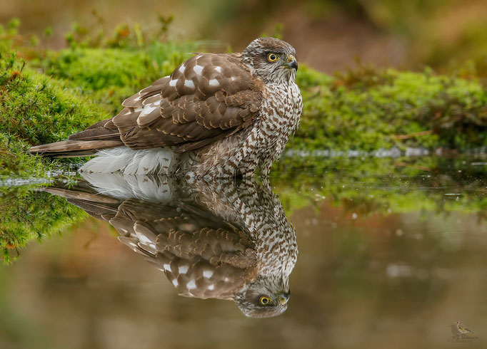 Sperwer, jong wijfje met spiegeling - Sparrowhawk, young female with reflections.