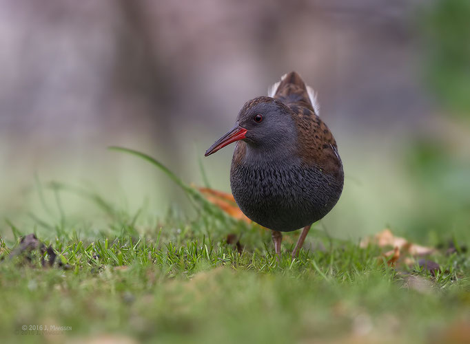 Waterral - Water rail.