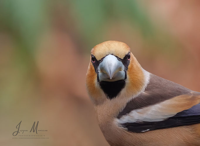 Appelvink man met boze blik - Hawfinch male with angry look.