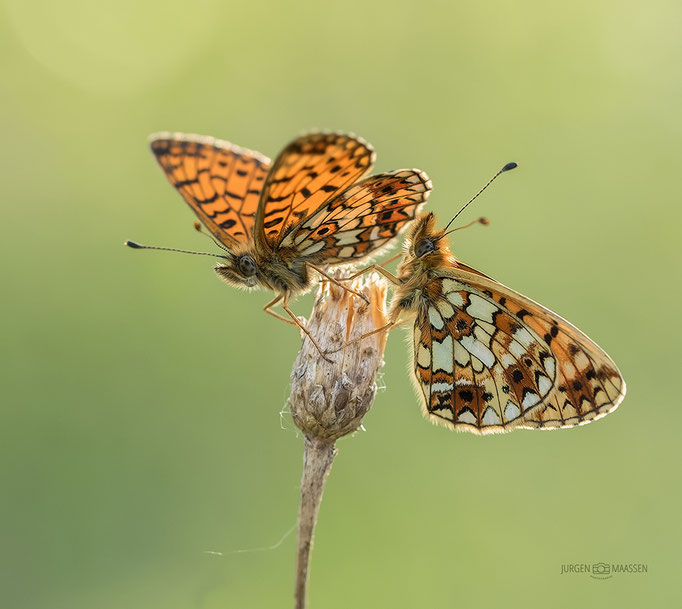 Zilveren Maan duo in tegenlicht - Pair of small Pearl-bordered Fritillary in backlight.