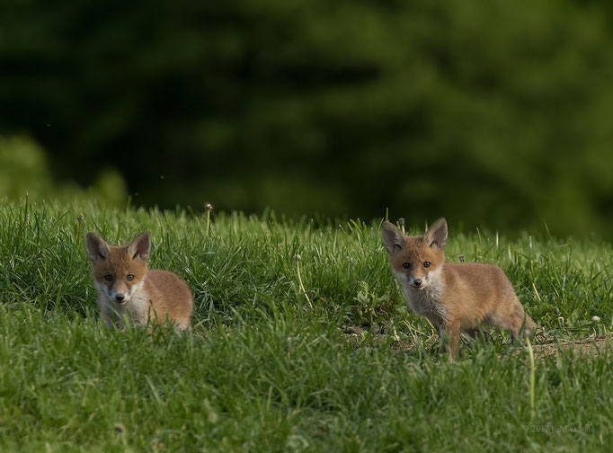 Jonge vosjes - Young red foxes.