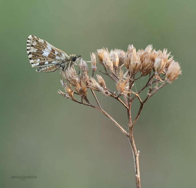 Aardbeivlinder - Grizzled skipper.