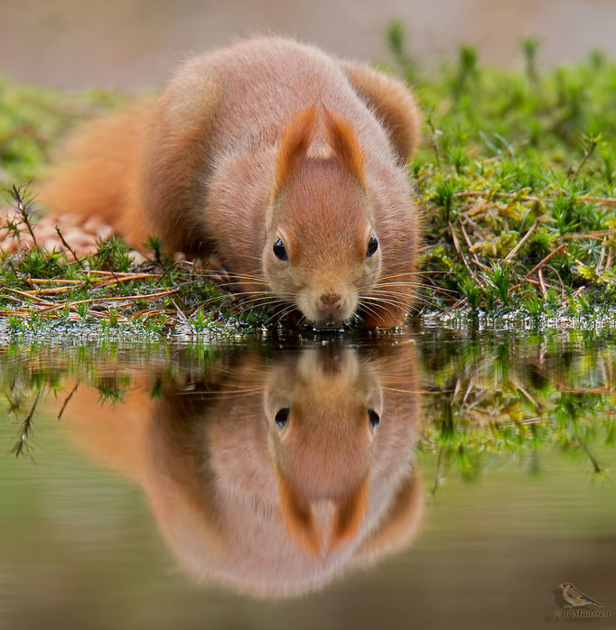 Eekhoorn met spiegeling - Red squirrel with reflection.