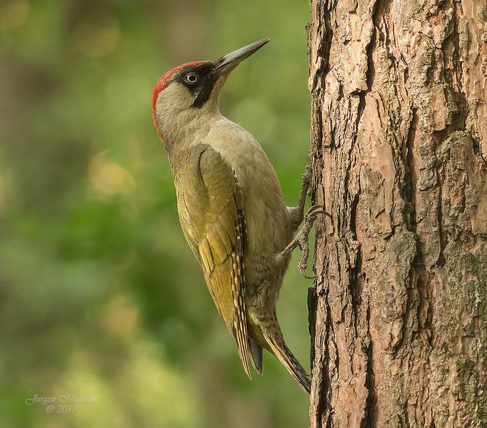Groene specht ♀ - Green woodpecker ♀.