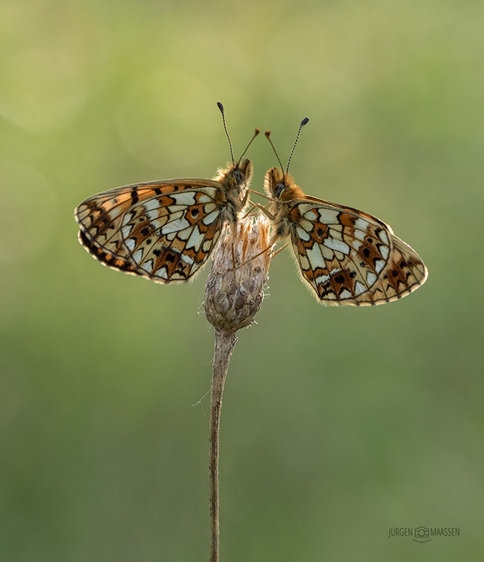 Zilveren Maan in tegenlicht - Small Pearl-bordered Fritillary in backlight.