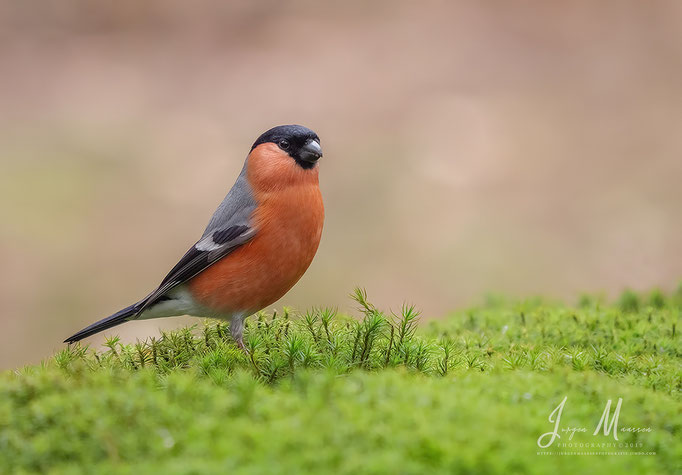 Goudvink man - Bullfinch male.