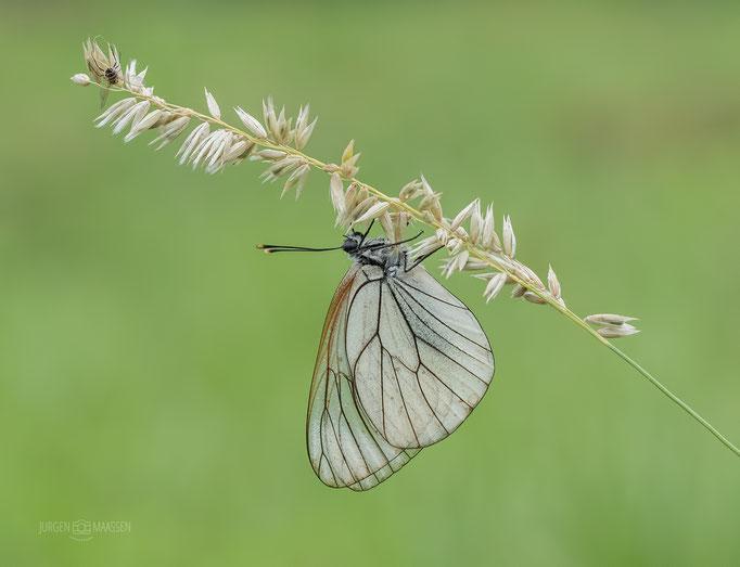 Great Geaderd Witje - Dark-veined White.