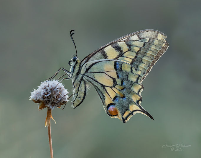 Koninginnenpage ♀ - Old World Swallowtail ♀.