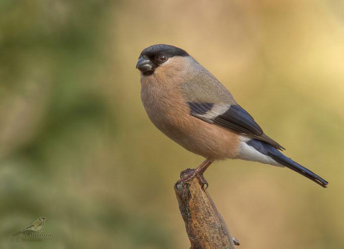 Goudvink ♀ - Bullfinch ♀.