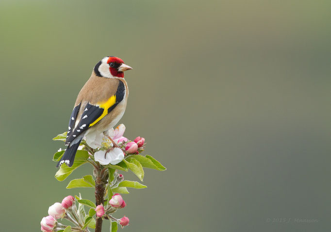 Putter (Distelvink) ♂ in de bloesem - Goldfinch ♂ in the blossom.