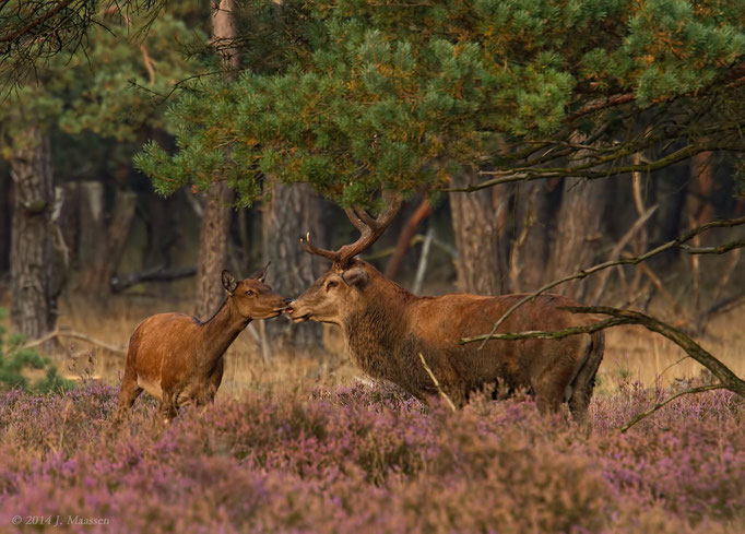 Edelhert krijgt kusje - A kiss for the Red Deer stag.
