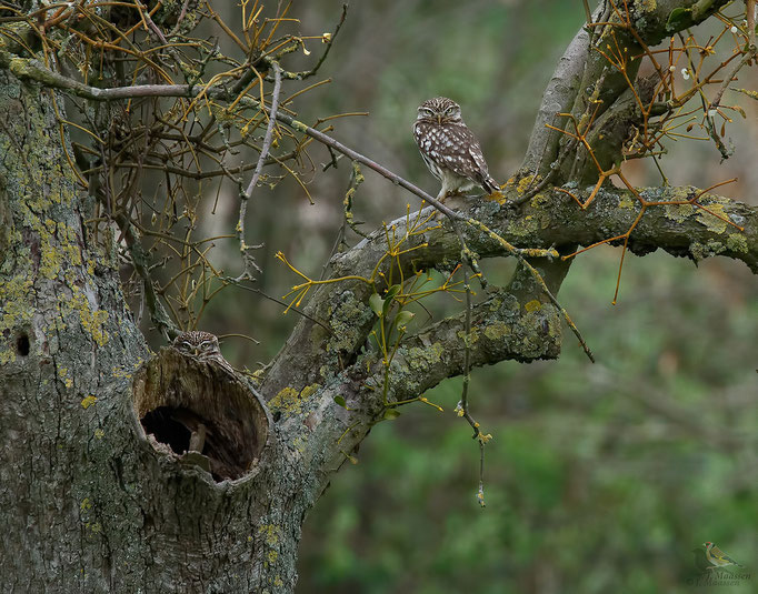 2 steenuiltjes in hun natuurlijke omgeving - 2 little owls in their natural environment.