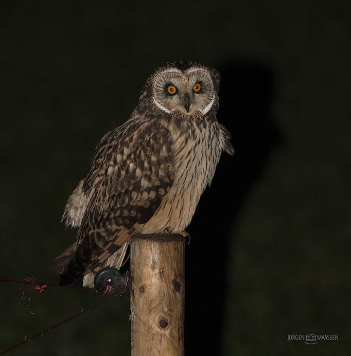 Velduil - Short-eared Owl.